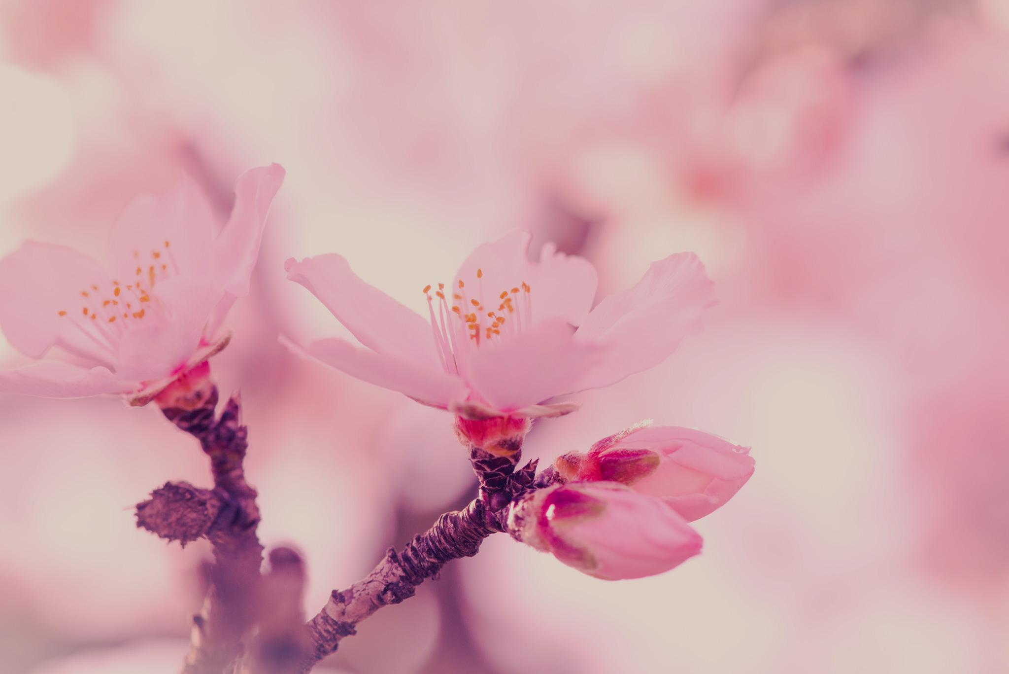 almendro rosa intenso